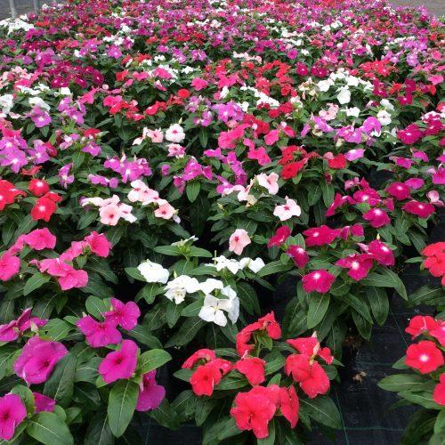 fiori nella serra